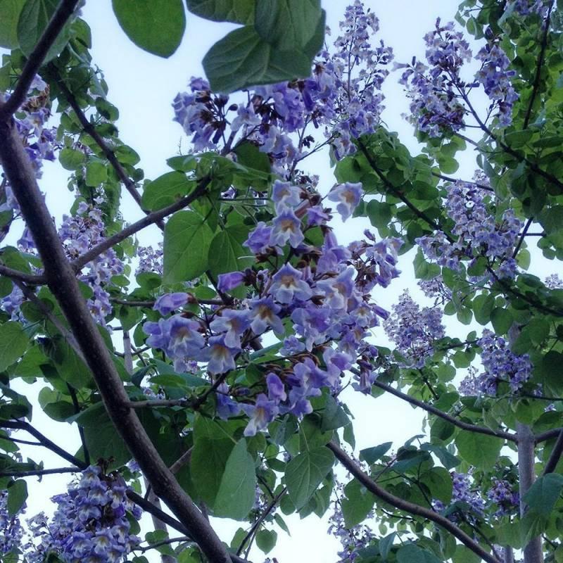 Paulownia tomentosa vivaio online un quadrato di giardino for Arbusti fioriti perenni