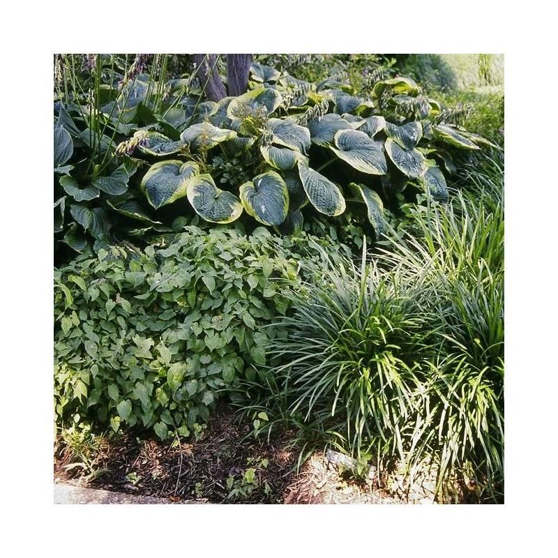 Perenni da bordura per giardino in ombra vivaio online for Piante da giardino perenni