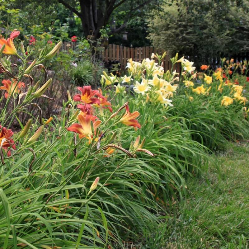 Bordura di hemerocallis da giardino vivaio online un for Piante perenni da bordura