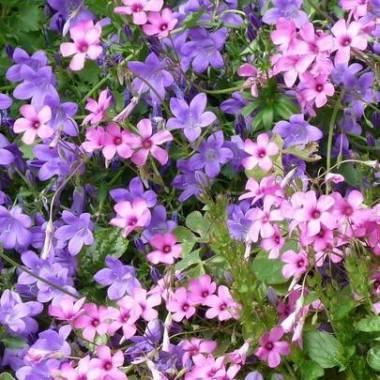 Giardino in ombra 2 vivaio online un quadrato di giardino for Fiori perenni