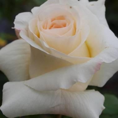 Rosa 'Valzer Della Neve' (sin. 'Schneewalzer', 'Snow Waltz', 'Valse des Neiges')
