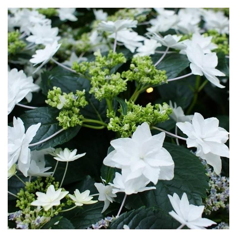 Hydrangea macrophylla 39 hanabi 39 for Cespugli fioriti perenni resistenti al freddo