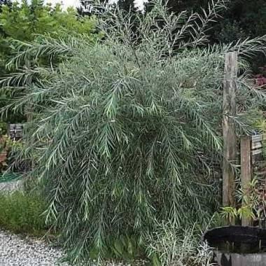 Salix acutifolia 'Pendulifolia'