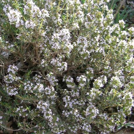 Thymus vulgaris arbusto sempreverde perenne resistente al for Piante ornamentali perenni