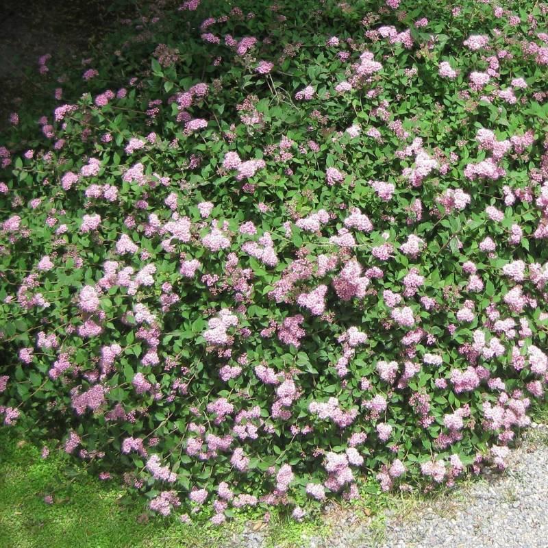 Spiraea japonica 39 alpina 39 for Cespugli fioriti perenni resistenti al freddo