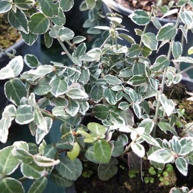 Paulownia tomentosa vivaio online un quadrato di giardino - Piante da esterno sempreverdi ...