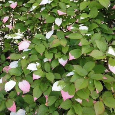 Piante rampicanti fiorite e sempreverdi vivaio online un for Piante cespugli sempreverdi resistenti al freddo