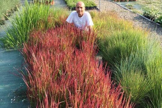 Graminacee e erbe ornamentali in estate in vivaio for Piante graminacee ornamentali