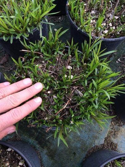 Piante da esterno perenni piante fiorite perenni piante - Piante perenni da esterno ...