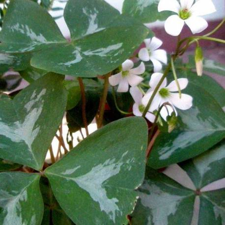 Oxalis regnellii 'Silverado'