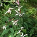 Porteranthus trifoliatus 'Pink Profusion' sin. Gillenia trifoliata