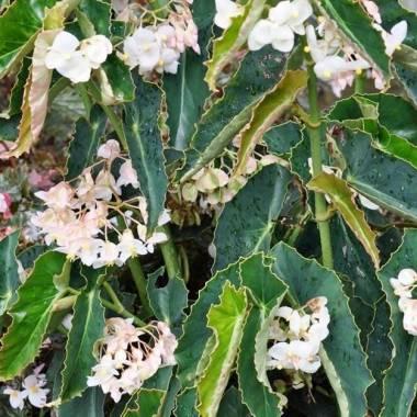 Begonia 'La Paloma'