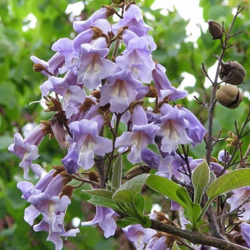 Piante A Cespuglio Da Giardino : Paulownia tomentosa vivaio online un quadrato di giardino