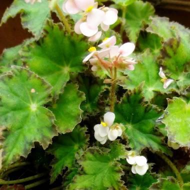Begonia 'Limeade'