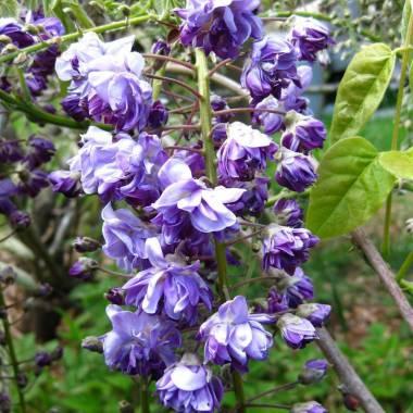 Wisteria floribunda 'Violacea Plena' sin. 'Black Dragon'