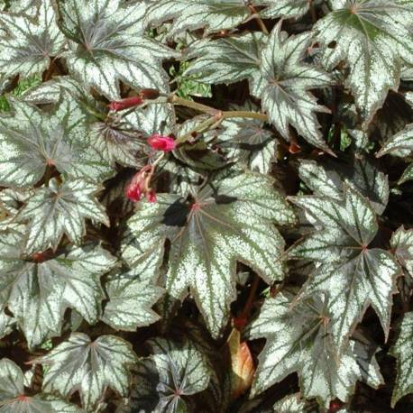Begonia 'Little Brother Montgomery'