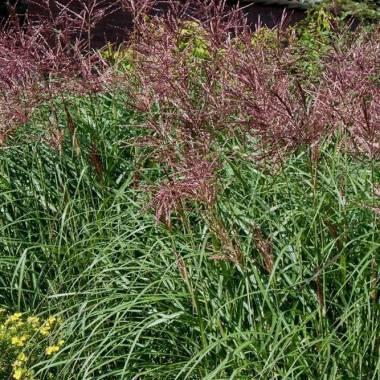 Miscanthus sinensis 'Purpurascens'