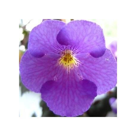 Achimenes 'Himalayan Purple'