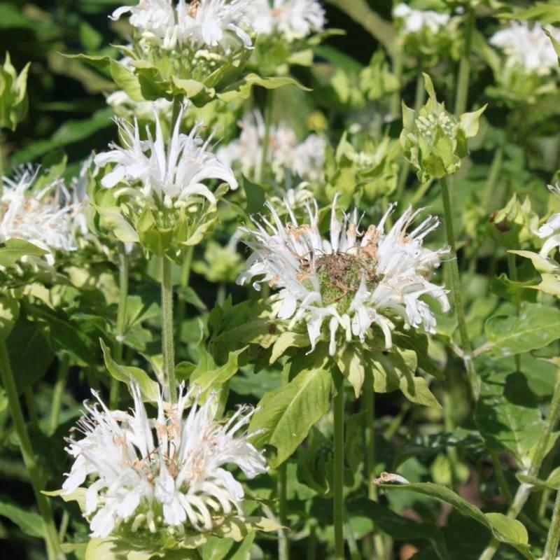 Monarda didyma 39 alba 39 vivaio online un quadrato di giardino for Piante aromatiche perenni