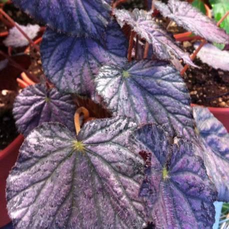 Begonia 'Passing Storm'