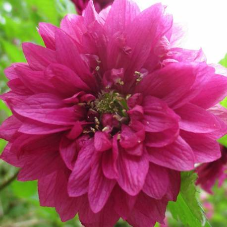 Rubus spectabilis 'Olympic Double' sin. Rubus spectabilis 'Flore Pleno'.