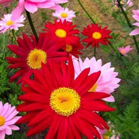Chrysanthemum coccineum 'Robinson's mix' (sin. Tanacetum coccineum)