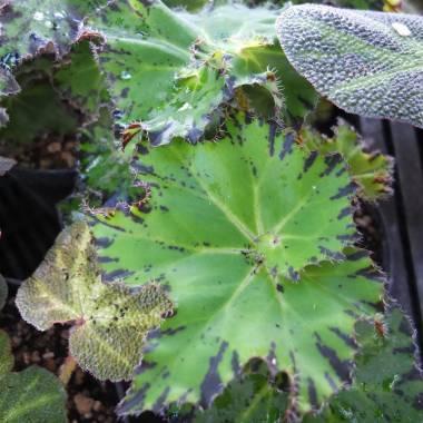 Begonia 'Shamus'