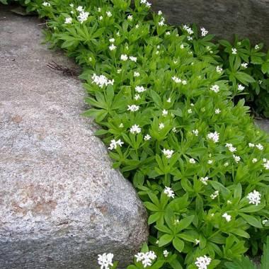Galium odoratum (Stellina odorosa)