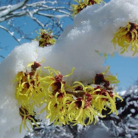 Hamamelis × intermedia 'Arnold Promise'