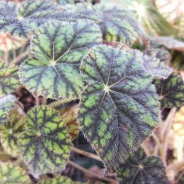 Begonia 'Sisquat'
