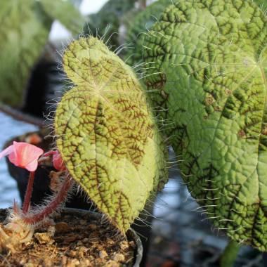 Begonia sizemoreae sin. longiciliata