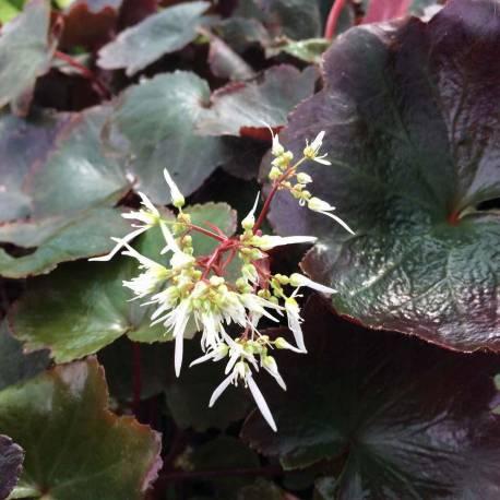 Saxifraga cortusifolia var fortunei 'Rubrifolia'