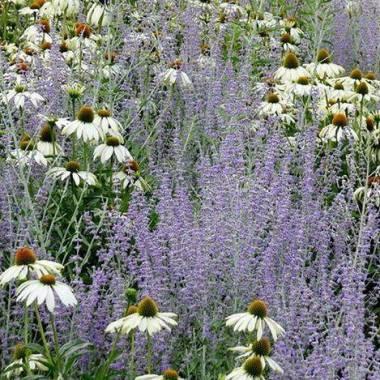 Fiori azzurri e bianchi estivi da xeriscape