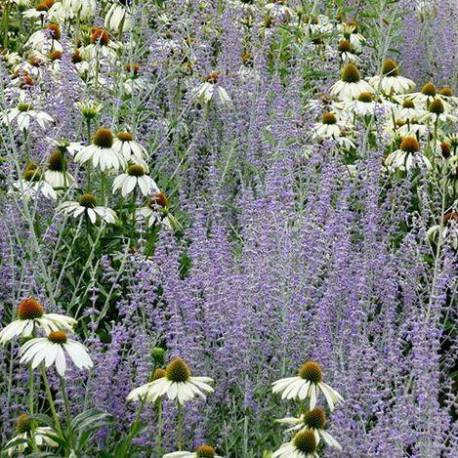 Fiori azzurri e bianchi estivi da xeriscape vivaio for Fiori estivi perenni