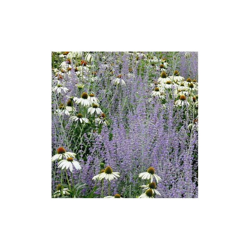 Fiori azzurri e bianchi estivi da xeriscape vivaio online un quadrato di giardino - Fiori estivi da giardino ...