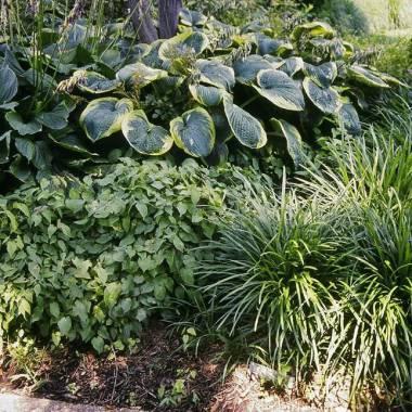 Perenni da bordura per giardino in ombra