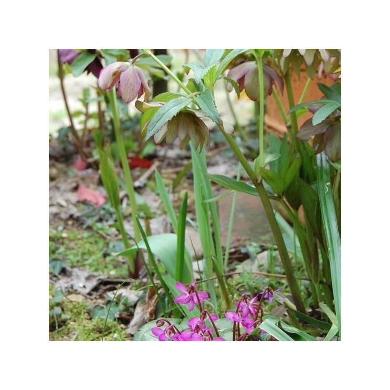 Fiori invernali da esterno vivaio online un quadrato di for Piante invernali