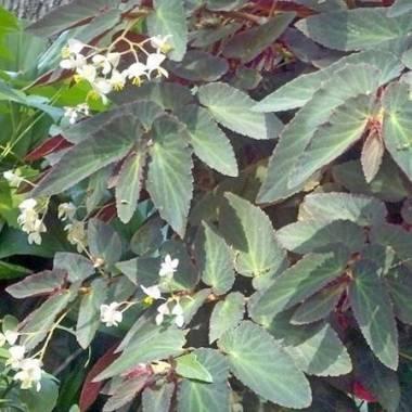 Begonia 'Withlacoochee'