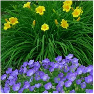 Fiori blu-viola e gialli estivi