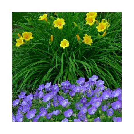 Fiori blu viola e gialli estivi vivaio online un quadrato di giardino - Fiori da giardino estivi ...