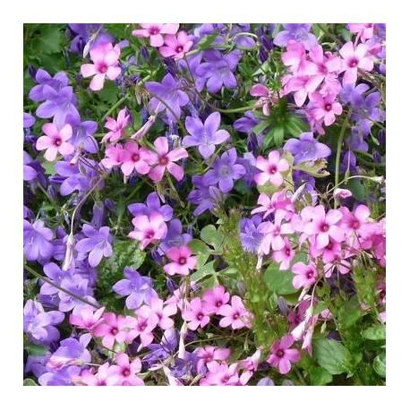 Fiori viola-blu e rosa rifiorenti per giardini rocciosi