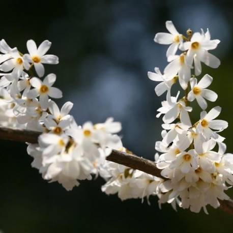 Abeliophyllum distichum (forsizia bianca)