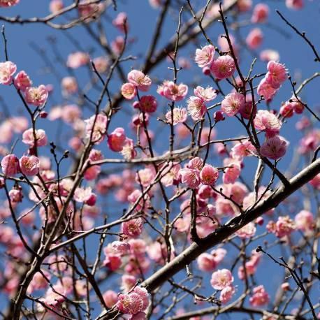 Prunus mume 'Rosea Plena'