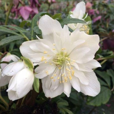 Helleborus niger 'Double Fashion'