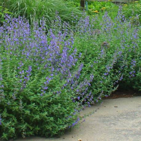 Nepeta × faassenii 'Walker's Low'