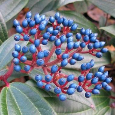 Viburnum davidii 'Angustifolia'