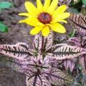 Heliopsis 'Summer Pink'