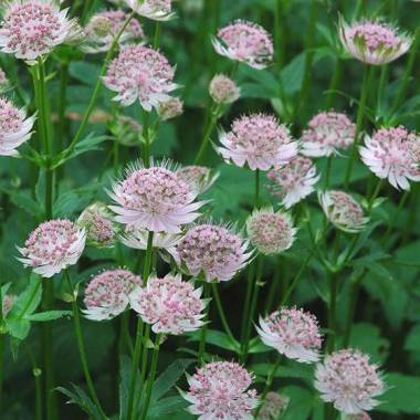 Astrantia x major 'Buckland'