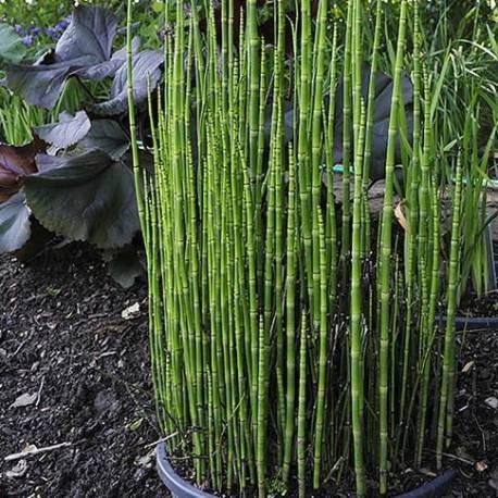 Equisetum hyemale 'Robustum'