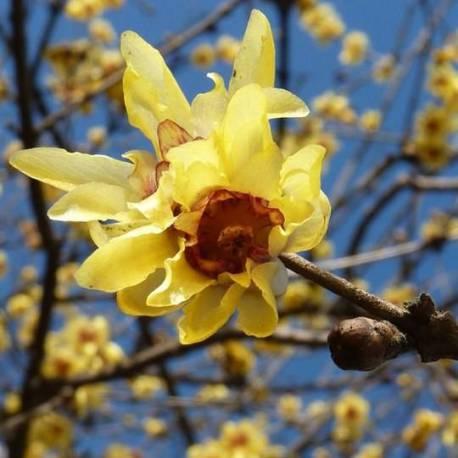 Chimonanthus praecox (Calicanto d'Inverno-Calycanthus)